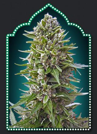 00 Haschis Cannabis Seeds