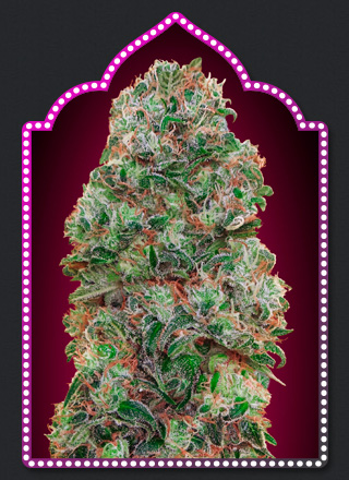 Haschis Berry Cannabis Seeds