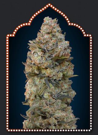 Sweet Soma Cannabis Seeds